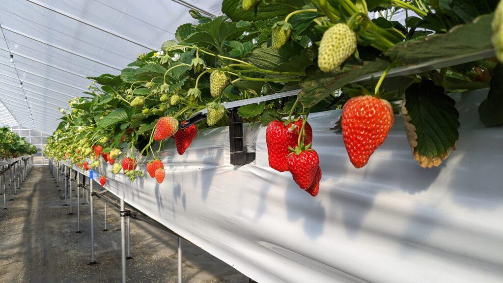 大阪のいちご農家【いちご農園ミライバナ】が運営しております。